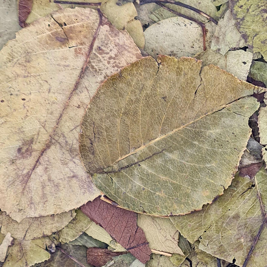 getrocknete Birnenblätter