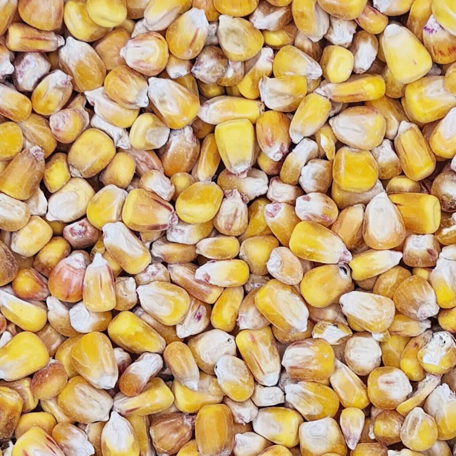 getrocknete Maiskörner