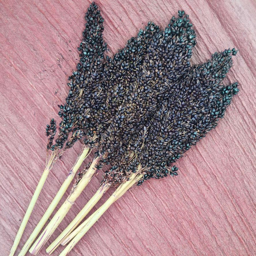 schwarze Sorghumkolben